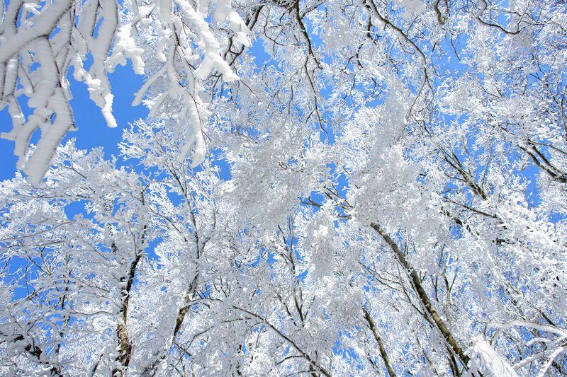 静かな霧氷の原生林の尾根道を行こう