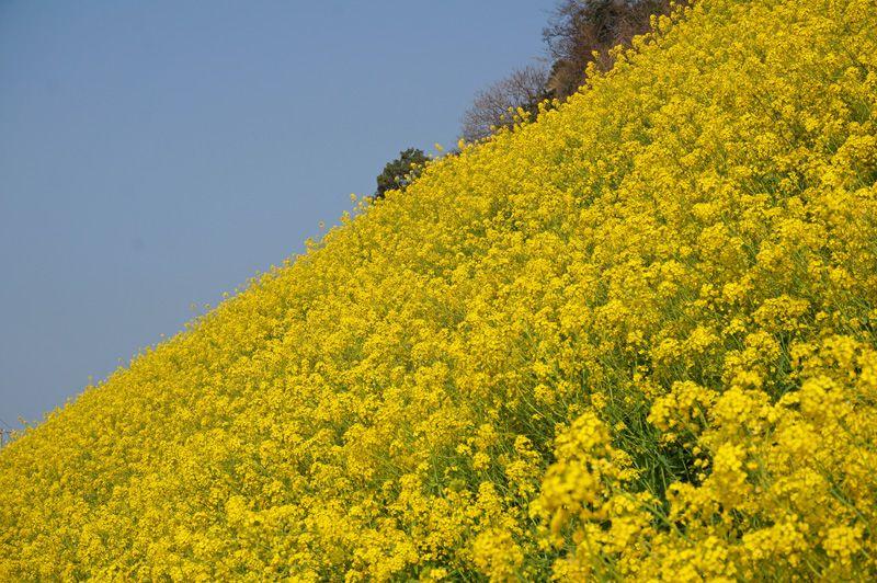 菜の花の絶景を楽しむなら、外せない場所はここ!
