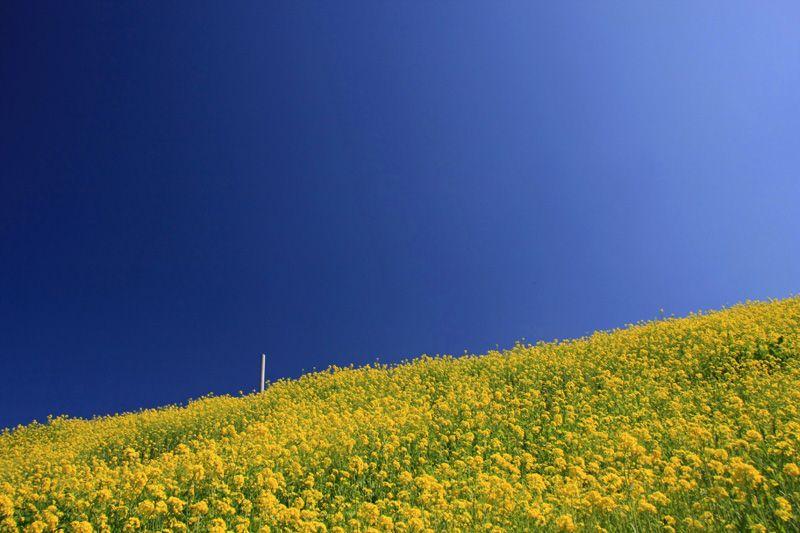 絶景を探せ!菜の花がどこまでも咲き続ける予讃線