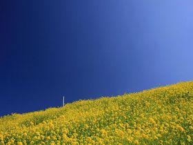 どこまでも続く海と菜の花とローカル線!愛媛・双海町の絶景