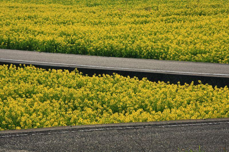 菜の花畑の中に走る道路と美しい清流
