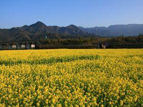 一面の菜の花畑と雪山!さらには温泉も!愛媛「見奈良菜の花畑」