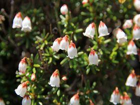 鉱山跡に咲く奇跡の高山植物!愛媛・別子銅山のツガザクラ