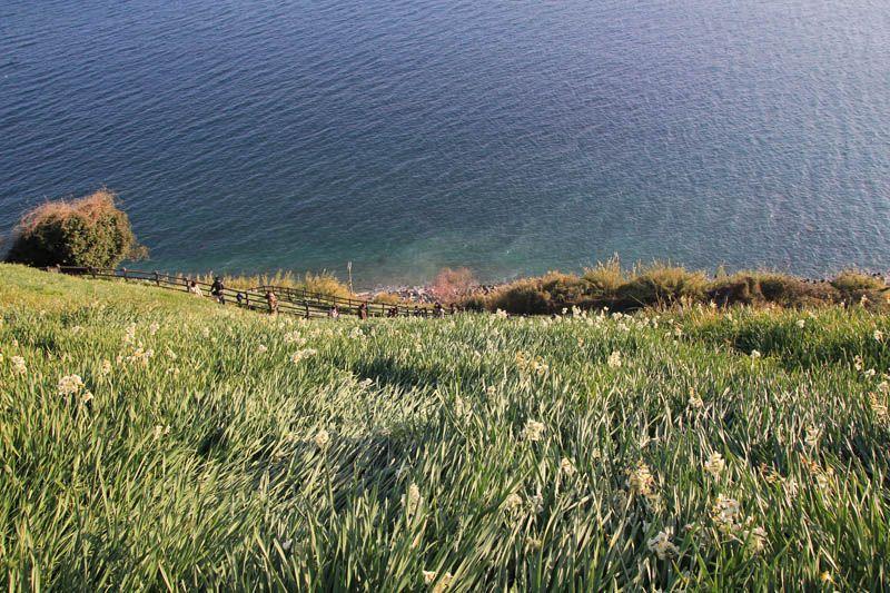 海に向かって輝くスイセン畑の中を下り下りよう