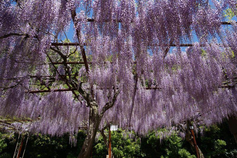 日本中の藤が集まる「藤見」の名所は春なら訪問必須