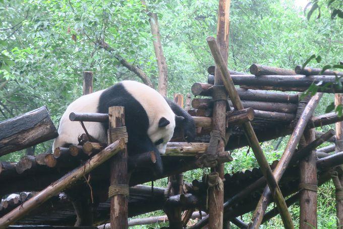 眠っていても愛くるしいパンダ