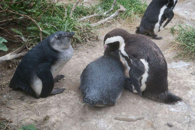 可愛いアフリカペンギンに癒される、ボルダーズ・ビーチ。