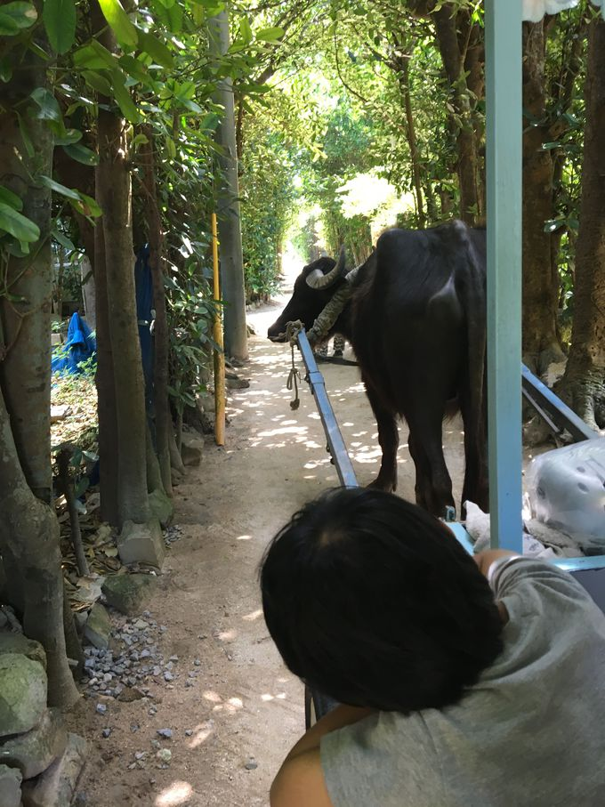水牛車に乗って「備瀬のフクギ並木」を散策