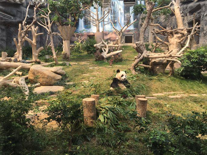 大人気のパンダに会える石排湾郊野公園