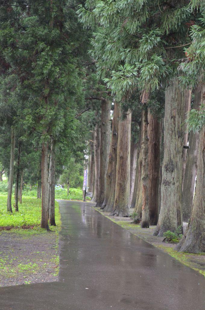 参道〜天然記念物の杉並木〜
