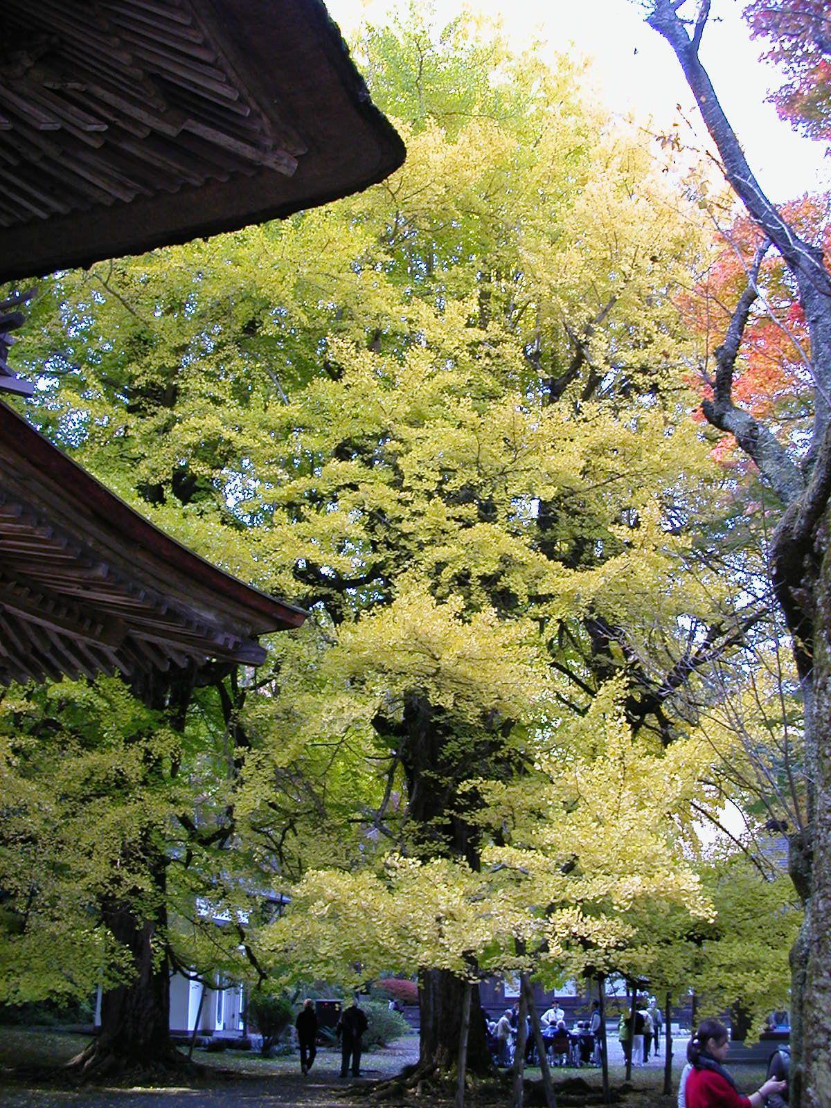 茅葺の古刹・五日市「広徳寺」は大銀杏の黄葉が見事!