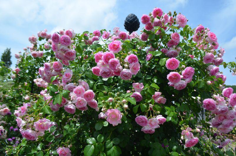香るバラが楽しめる新潟県長岡市「越後丘陵公園」