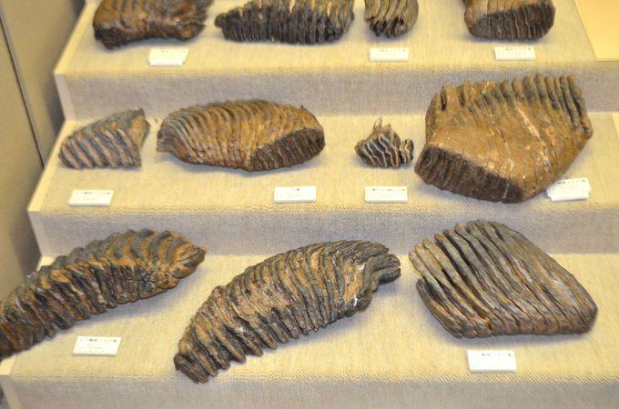 ナウマンゾウとは・・?出土した化石
