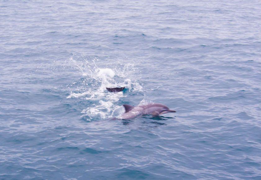 イルカが船の前で華麗にジャンプ!