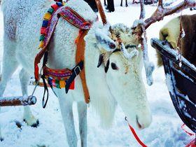 北極圏の動物とスノーアクティビティ!白銀の世界ロバニエミ・フィンランド