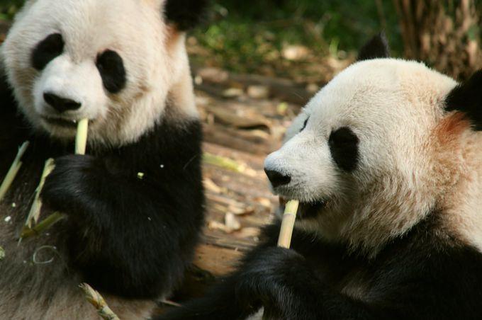 黄龍は貴重なパンダの生息地