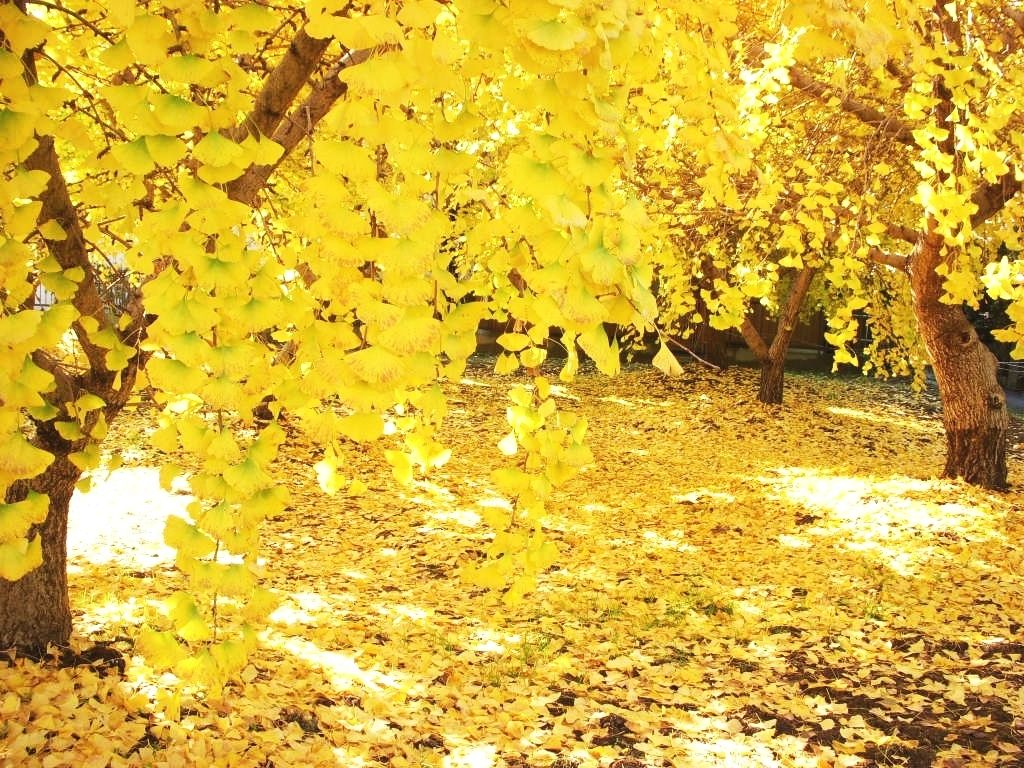 5.愛知「そぶえイチョウ黄葉まつり」で銀杏を愛でよう