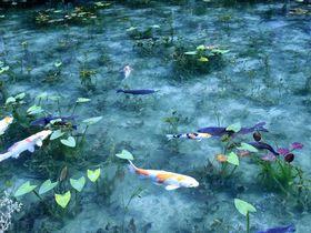 ハートの鯉で恋成就!新たなパワースポット岐阜「モネの池」