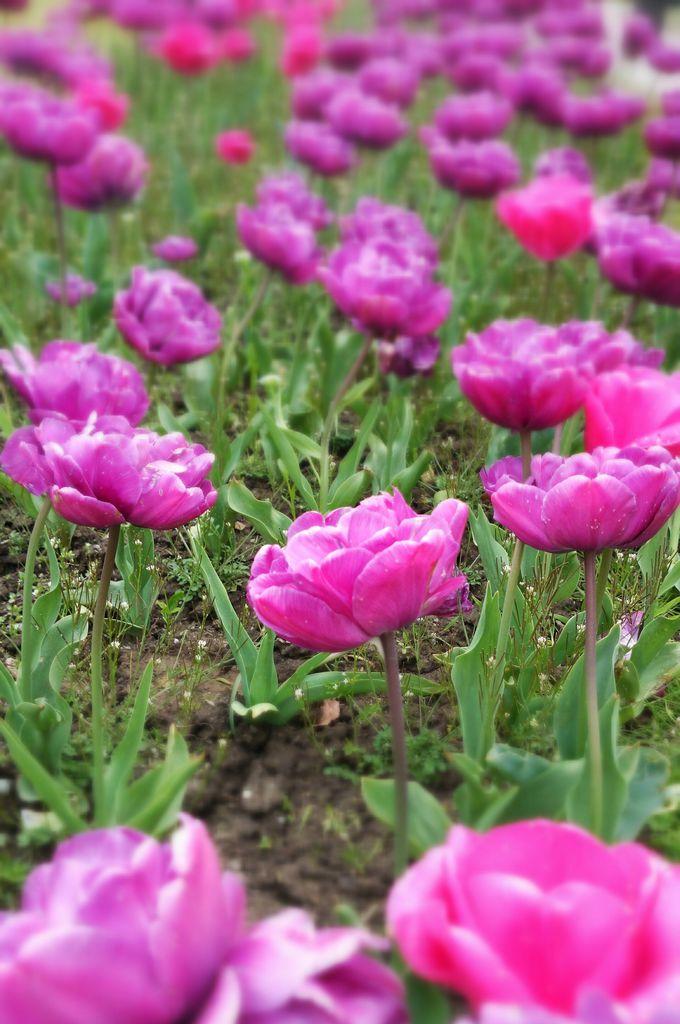 春の「アンヌヴォア」は、まるでチューリップの博覧会!