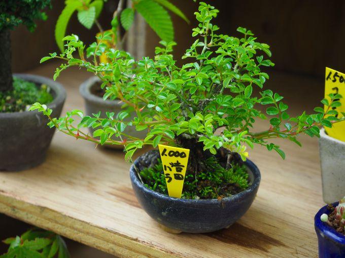 イチオシは、なんとも可愛いミニ盆栽
