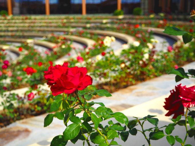 1500種のバラを愛でる