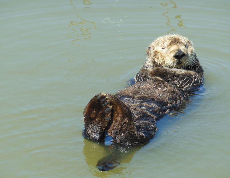 野生のラッコに会いに行こう!カリフォルニア・モスランディングの海へ