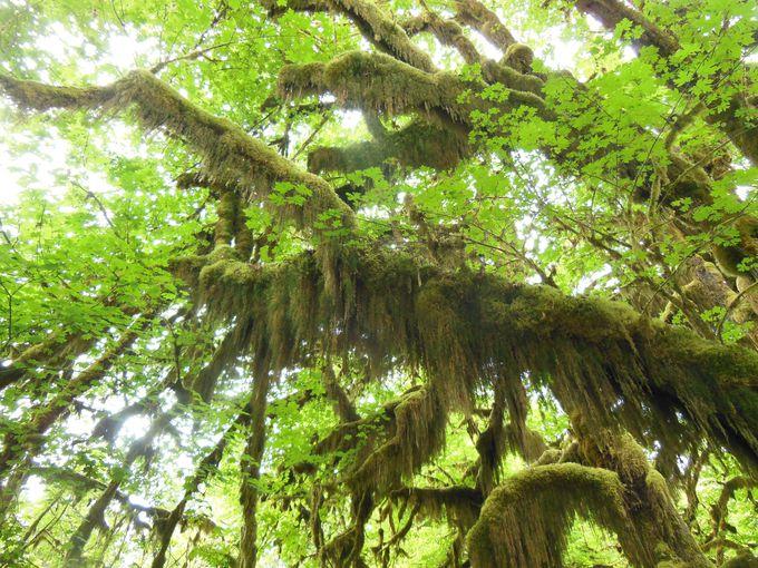 世界遺産の温帯雨林!しっとりとコケのある風景