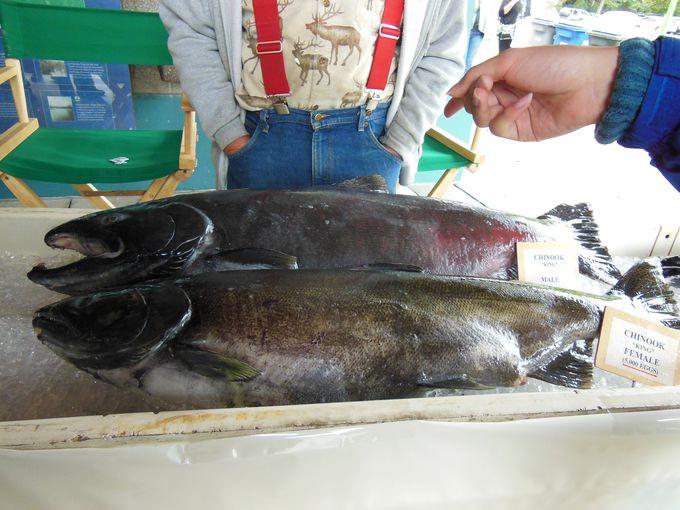 ダイナミックな鮭の一生を学ぼう!