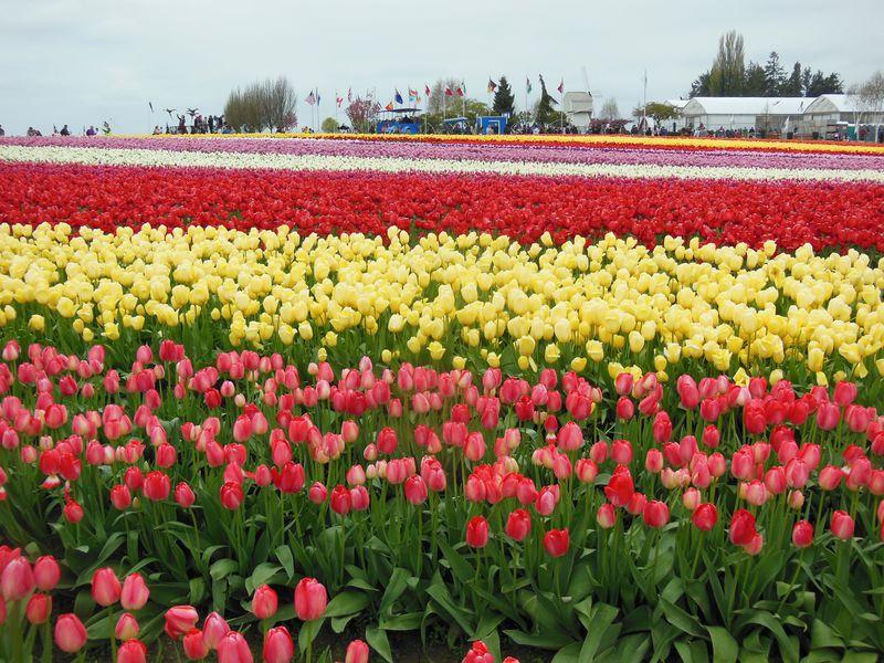 花畑の規模も米国サイズ!4月開催ワシントン州「チューリップ・フェスティバル」