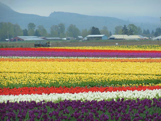 4月はチューリップ・フェスティバルの季節