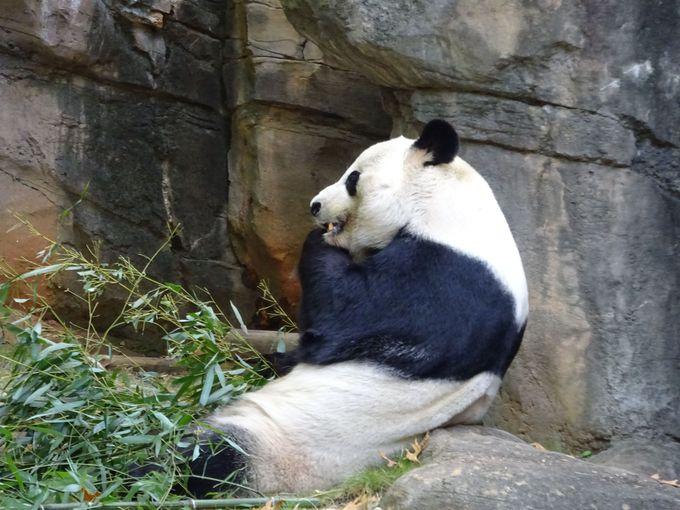パンダのパパは別居中?