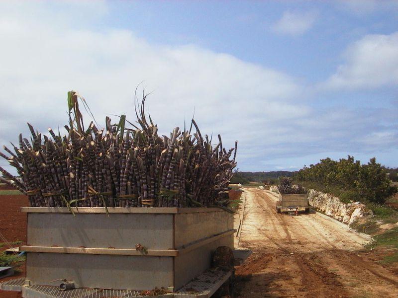 沖縄本島から東へ360km さとうきび畑が広がる北大東島