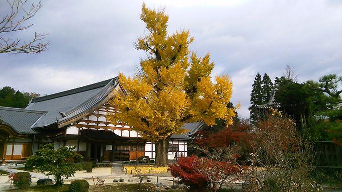 樹齢670年のイチョウの巨木は高さ25メートルもあります