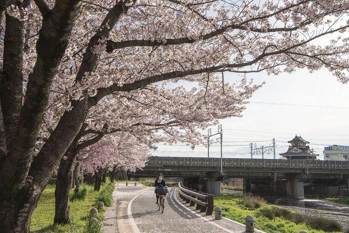 清洲城一帯は桜の名所 開花期には「清洲城桜祭り」も開催!