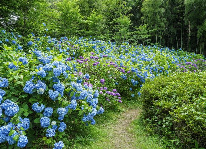 6月から7月は紫陽花が咲きほこり、「くろばね紫陽花まつり」も開催