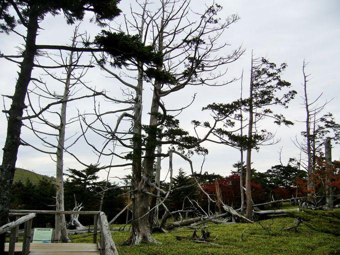 幻想的なトウヒの立ち枯れが続く「正木峠」や「正木ヶ原」