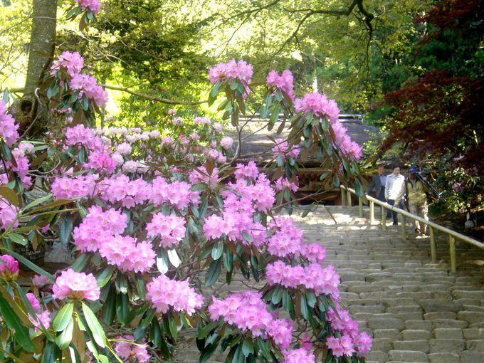 左右から優しく包むシャクナゲの花咲く石段「鎧坂」を上る