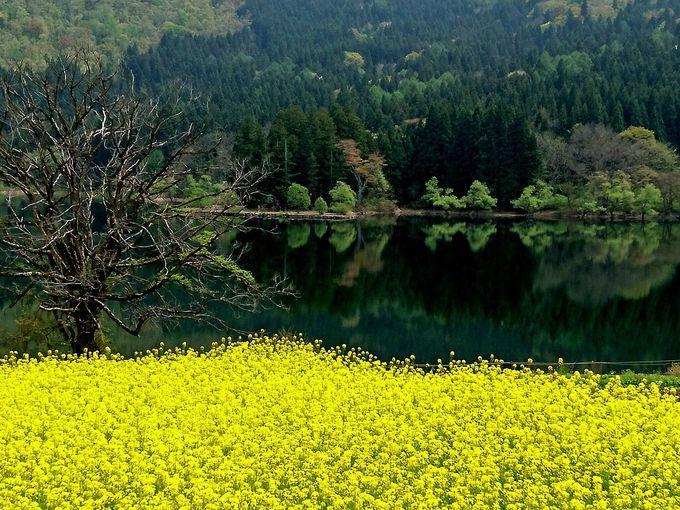 青い湖の畔が黄色に染まる北竜湖畔菜の花畑