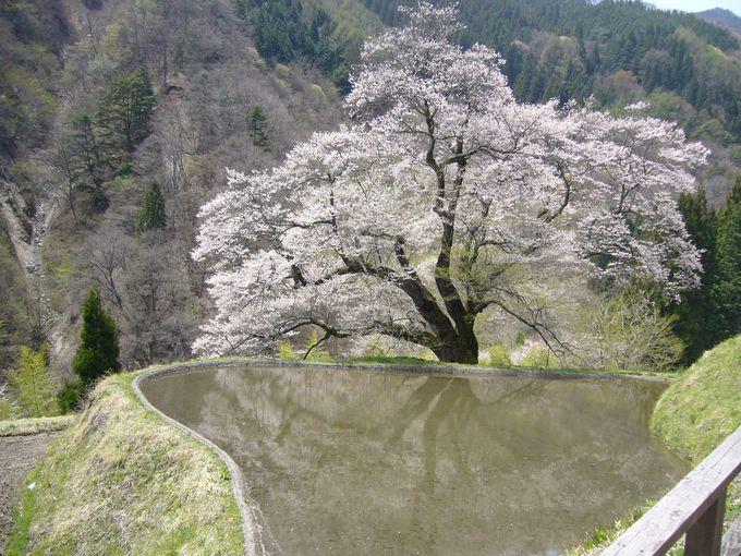 義経物語が語り継がれる!園原の里の一本桜「駒つなぎの桜」(長野・阿智村)
