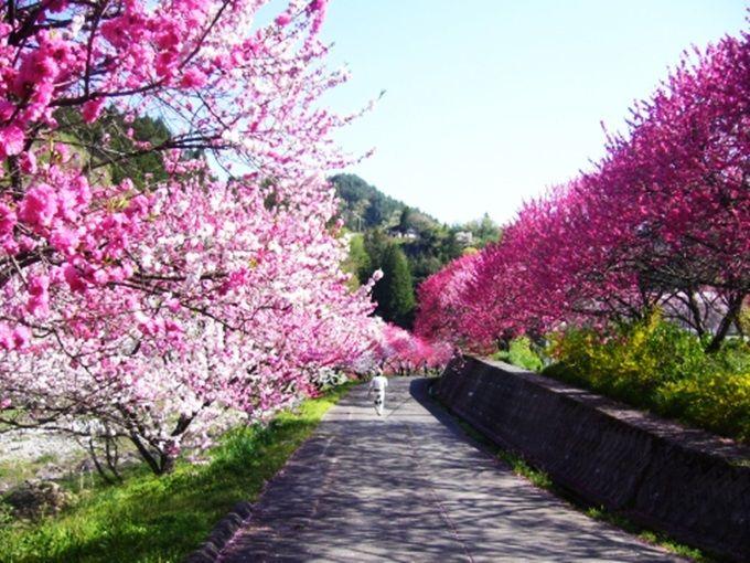 たずねまほしき花桃の里「園原」