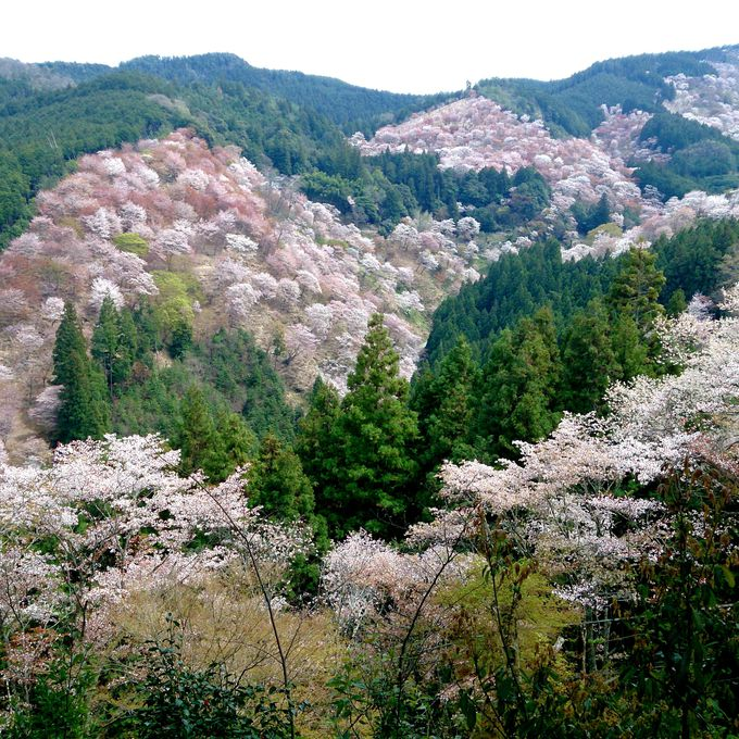 御醍醐天皇ゆかりの吉水神社より、山肌を埋め尽くす桜を眺める「中千本」