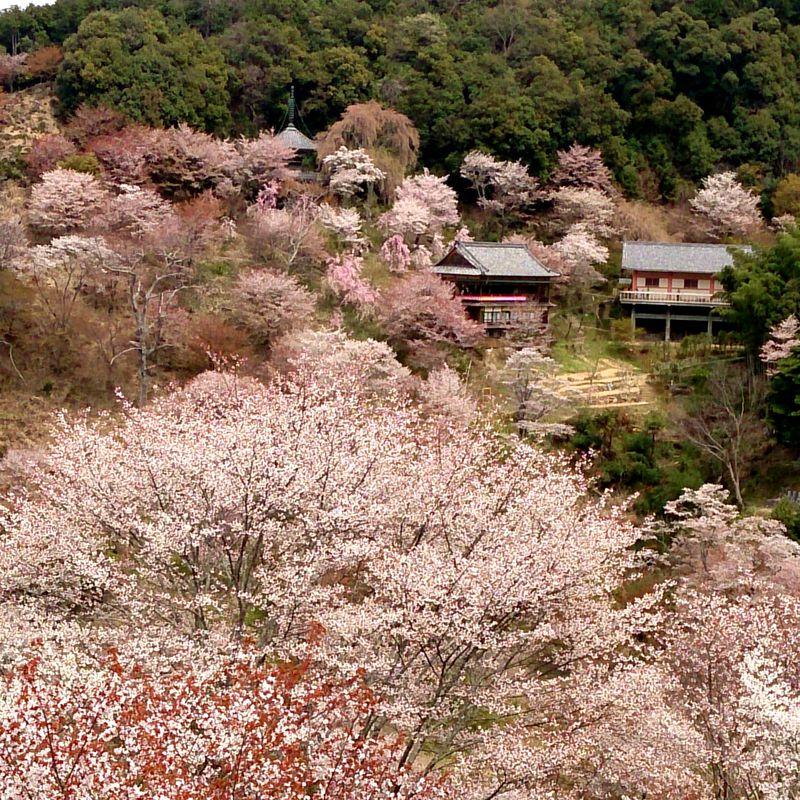 西行も秀吉も愛でた桜絵巻!世界遺産吉野山「三万本桜」への旅