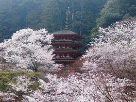 風薫る奈良の春!桜井・宇陀エリアの桜を巡る日本風景街道ドライブ