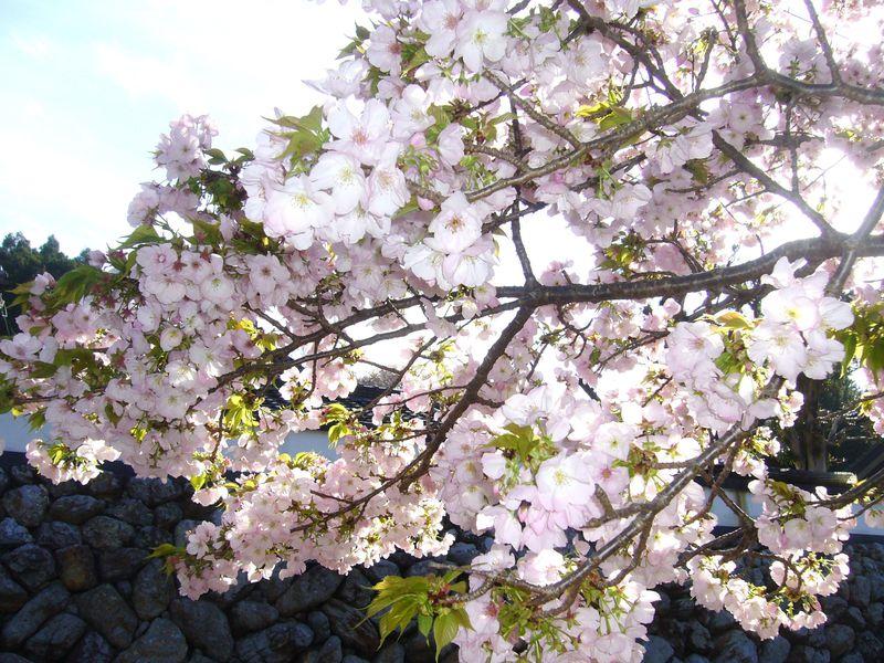 歴女気分で行く平家ゆかりの地・伊勢市横輪の「横輪桜」を愛でる