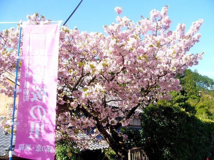 他では見られない見事な「横輪桜」があっちこっちに