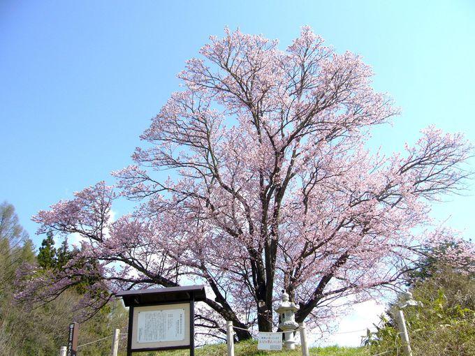 小高い丘に立つ、鮮やかな紅色の大山桜