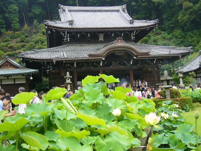 あじさいの寺としても有名な花の寺「三室戸寺」
