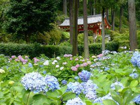 三室戸寺でアジサイ絵巻も堪能!源氏物語ゆかりの地「宇治」