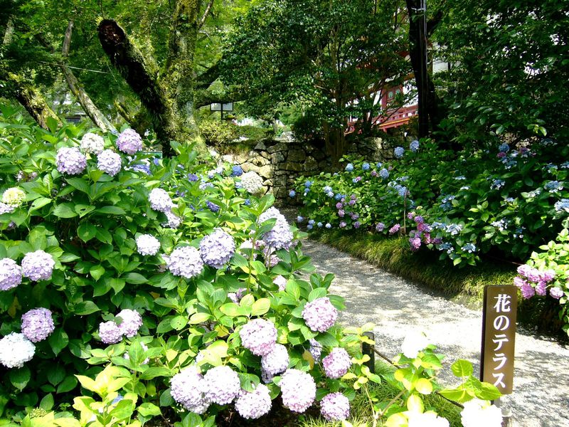 奈良のアジサイ寺「矢田寺」と太子ロマン「斑鳩三塔」を巡る
