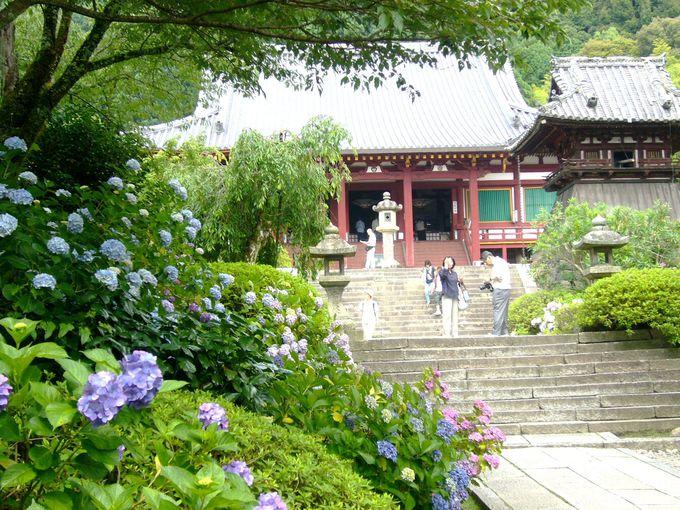 関西の紫陽花の名所「矢田寺」